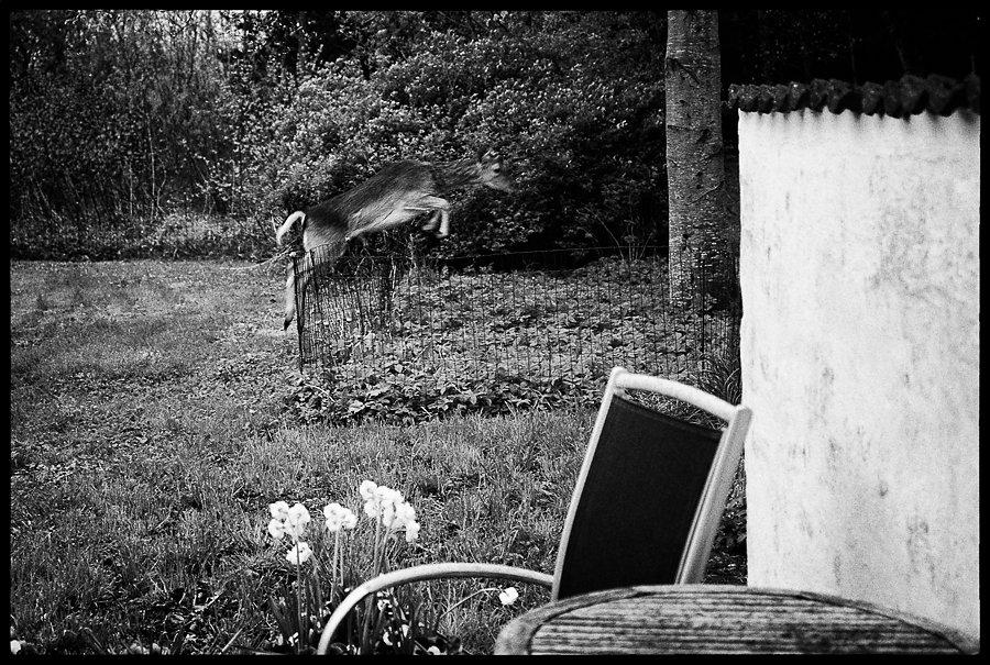 Garden deer